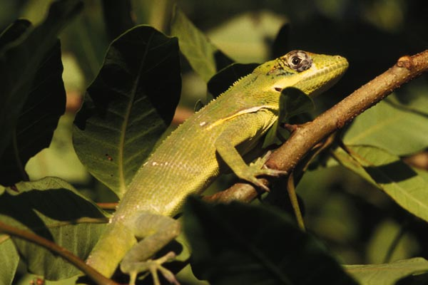 Western Knight Anole (Anolis equestris equestris)