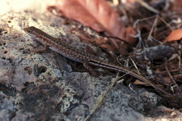 Lesser Sunda Dark-throated Skink (Sphenomorphus melanopogon)
