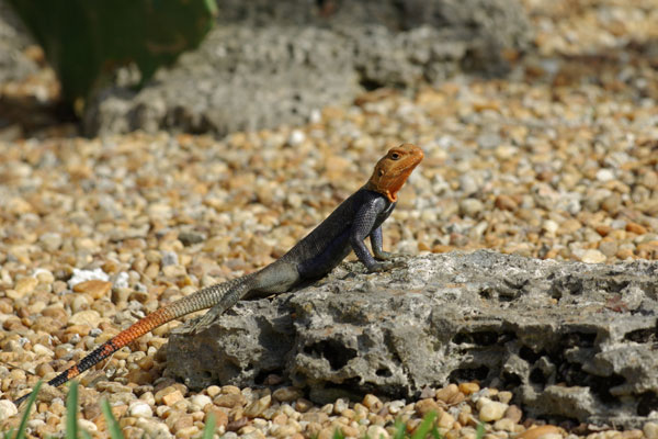 West African Rainbow Lizard (Agama picticauda)