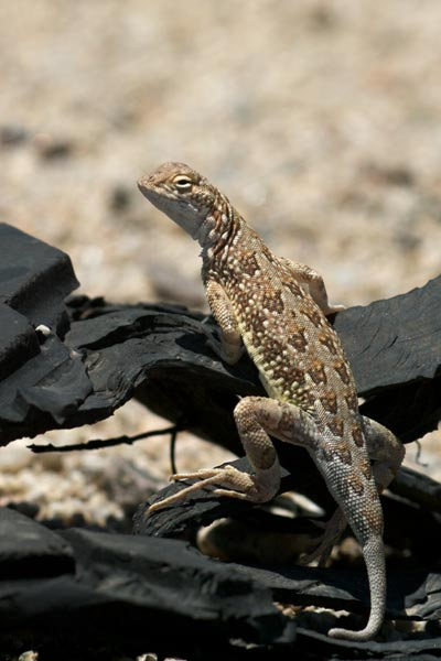 Sonoran Earless Lizard (Holbrookia elegans thermophila)