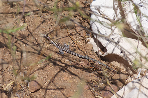 Belding's Orange-throated Whiptail (Aspidoscelis hyperythra beldingi)