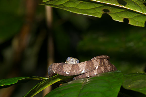 Big-headed Snail-eating Snake (Dipsas indica indica)