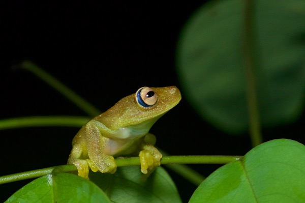 Rough-skinned Green Treefrog (Boana cinerascens)