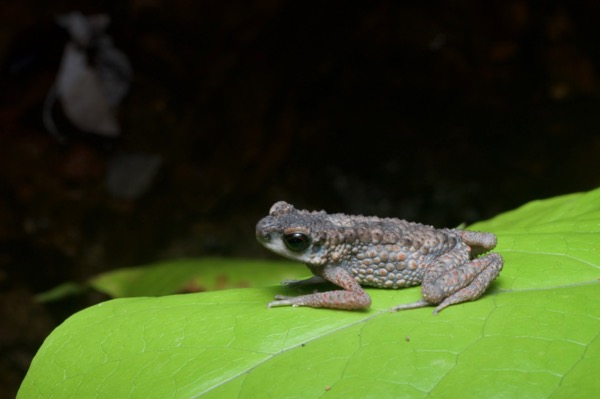 Spiny Slender Toad (Ansonia spinulifer)