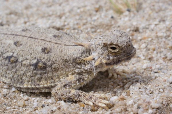 Flat-tailed Horned Lizard (Phrynosoma mcallii)