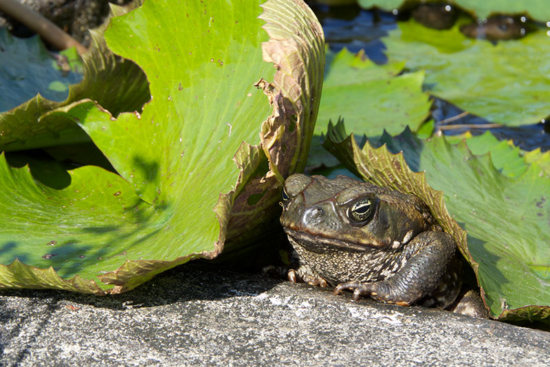 how to keep cane toads out of pond